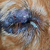 Demodectic Mange around dog's eye before treatment