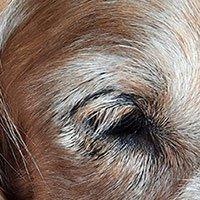 Demodectic Mange around dog's eye cured
